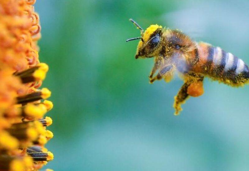 صورة النحل