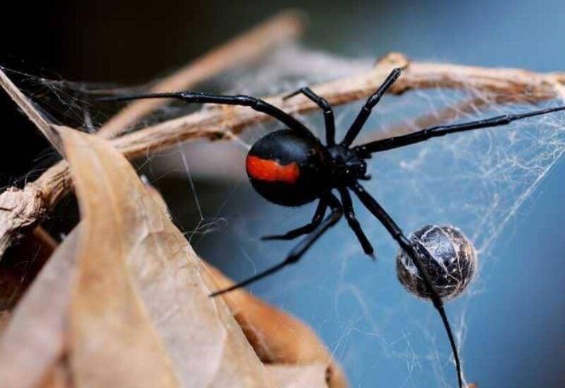 عنكبوت ينسج شبكته