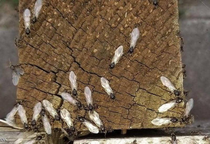 النمل الطائر يتحرك على شكل أسراب