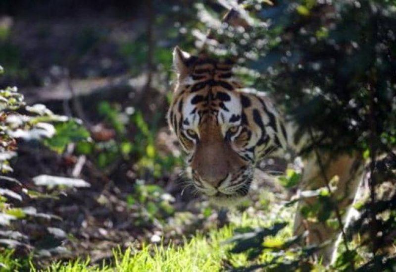 طالب يلتقط صوراً مذهلة لأندر نمر في العالم
