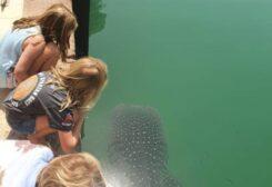 رصد سمكتي قرش الحوت النادر في أبوظبي