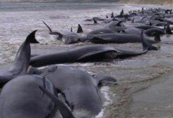 نفوق عدد كبير من الحيتان في أستراليا