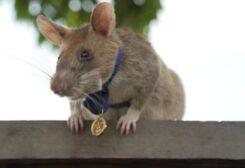 ماغاوا يفوز بالميدالية الذهبية لمهارته في كشف الألغام
