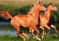 من الصعب على ساق الحصان المكسورة أن تلتئم بشكل صحيح