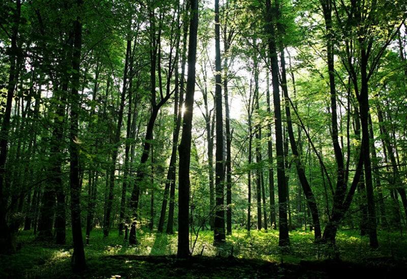 تعيش الخنفساء الشيطانية تحت لحاء الأشجار أو تحت الصخور