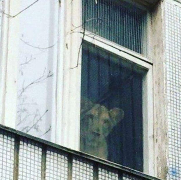 لبوة في منزل في موسكو