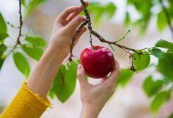 تفاح - تعبيرية